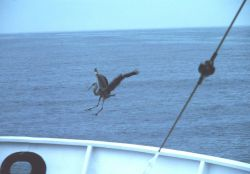 A lost blue heron hitching a ride at sea. Photo