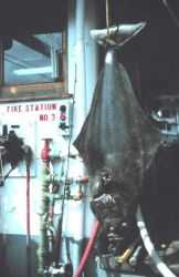 Large halibut Photo