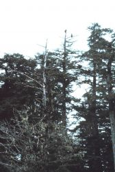 Eagles on tree at Little Port Walter Photo