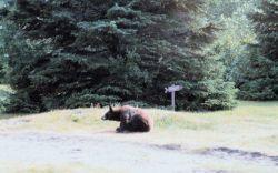 Black bear at Taku Glacier Lodge Photo