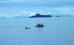 Killer whale study Photo
