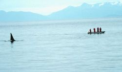 Killer whale study. Photo