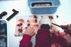 Sorting salmon for genetic research Photo