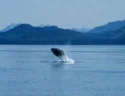 Humpback whale breaching in Glacier Bay. Photo