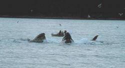 Group of humpback whales feeding in Iyoukeen Cove, Chichagof Island. Photo