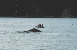 Group of humpback whales feeding in Iyoukeen Cove, Chichagof Island. Photo