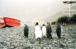 King penguins on shore leave looking for the party at Grytviken. Photo