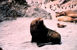 Southern fur seal with elephant seals and penguins in the background. Photo