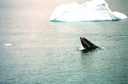 Humpback whale feeding - straining water out to trap krill in baleen. Photo