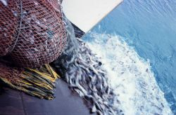 Fish sliding back over the transom as the net is being pulled aboard during fish stock assessment survey on the NOAA Ship MILLER FREEMAN. Photo