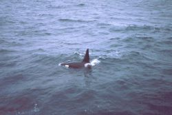 Killer whales alongside the MILLER FREEMAN. Photo