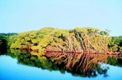 Mangroves along waterway in Palm Beach County Photo