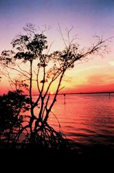 Mangrove sunset Photo