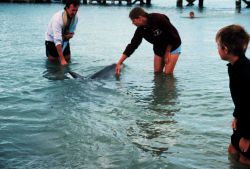 The O'Clock family cavorting with the dolphins at Monkey Mia near Shark Bay Photo