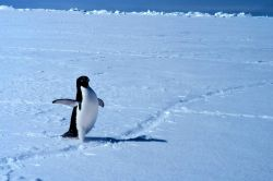 Adelie penguin on ice in Ross Sea. Photo