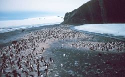 Adelie Penguins at a rookery. Photo