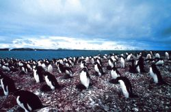 An Adelie Penguin rookery on the Antarctic Peninsula. Photo