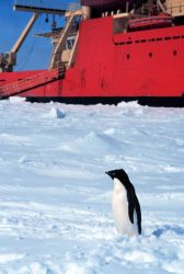 Adelie penguin posing in front of the National Science Foundation Research Ice Breaker NATHANIEL B Photo