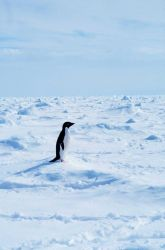Adelie penguins walking on sea ice in the Ross Sea. Photo