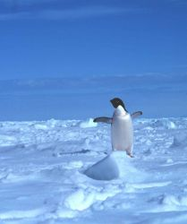 Adelie penguin on the sea ice. Photo