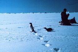 Scientists photographing Adelie penguins Photo