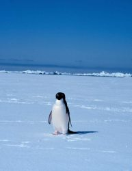 Adelie penguin. Photo