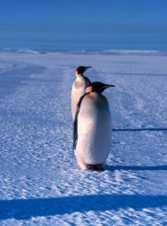 Emperor penguins. Photo