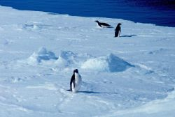 Adelie penguins. Photo