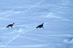 Emperor penguins tobogganing over the snow. Photo