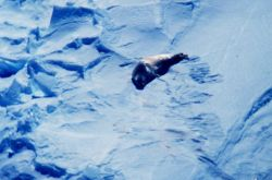 Seal on the sea ice Photo