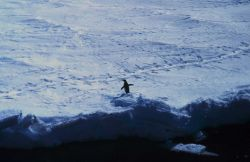 Adelie penguin on the sea ice Photo