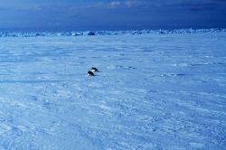 Penguins sliding across the sea ice Photo