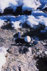 Emperor penguin egg at Cape Washington in the Ross Sea Photo