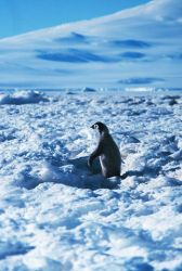 Emperor penguin chick at Cape Washington in the Ross Sea Photo