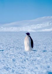 Emperor penguin at Cape Washington in the Ross Sea Photo