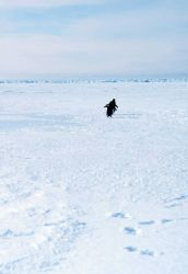 Adelie penguins running on the sea ice. Photo