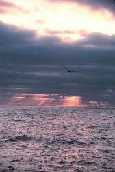 Sunset, seagull and crepuscular rays over the ocean. Photo