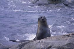 Fur Seal at the beach. Photo