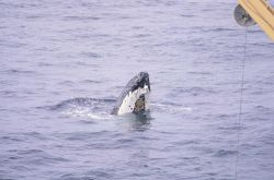 Humpback Whale, spyhopping. Photo