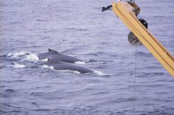 Humpback Whales near SURVEYOR. Photo