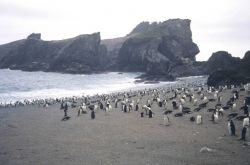 Chin strap penguin rookery. Photo