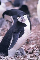 Chinstrap penguin and chick. Photo