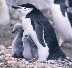 Chinstrap penguin and chicks (closeup). Photo
