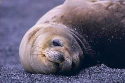 Lazy fur seal. Photo