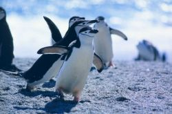 Chinstrap penguins waddling. Photo