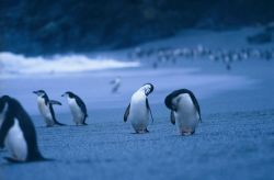 Chinstrap penguins on beach. Photo