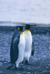 King Penguins at Fortuna Bay. Photo