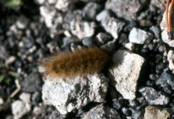 Caterpillar crawling on gravel Photo