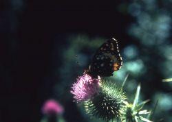 Great Spangled Fritillary (Speyeria cybele) Photo