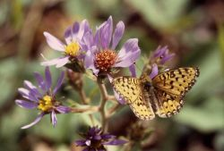 Greater Fritillary butterfly (Speyeria sp.) on aster Photo